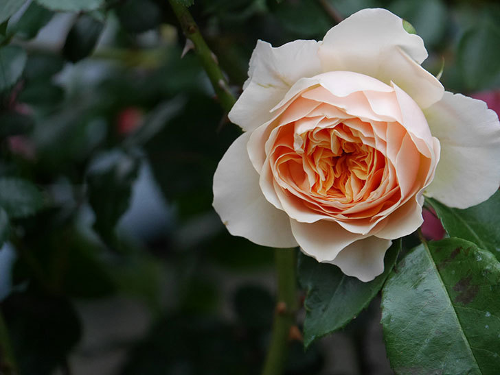 ジンジャー・シラバブ(ツルバラ)の花が咲いた。2020年-18.jpg