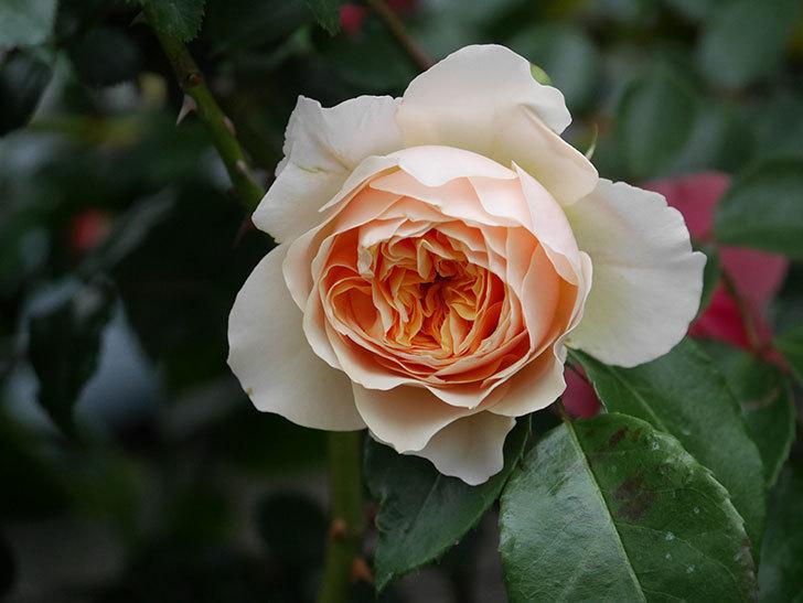 ジンジャー・シラバブ(ツルバラ)の花が咲いた。2020年-19.jpg