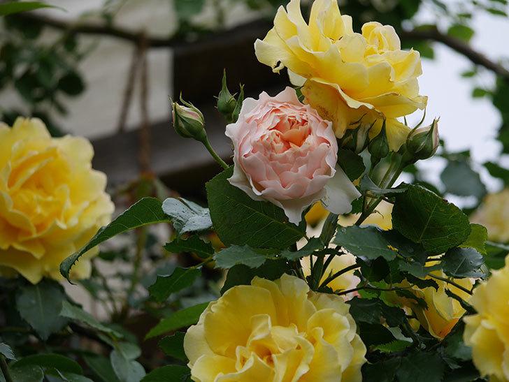 ジンジャー・シラバブ(ツルバラ)の花が咲いた。2020年-21.jpg
