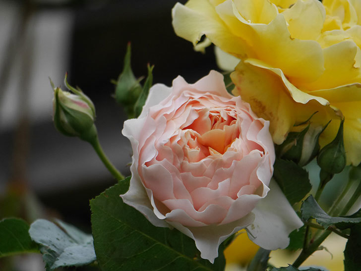 ジンジャー・シラバブ(ツルバラ)の花が咲いた。2020年-22.jpg