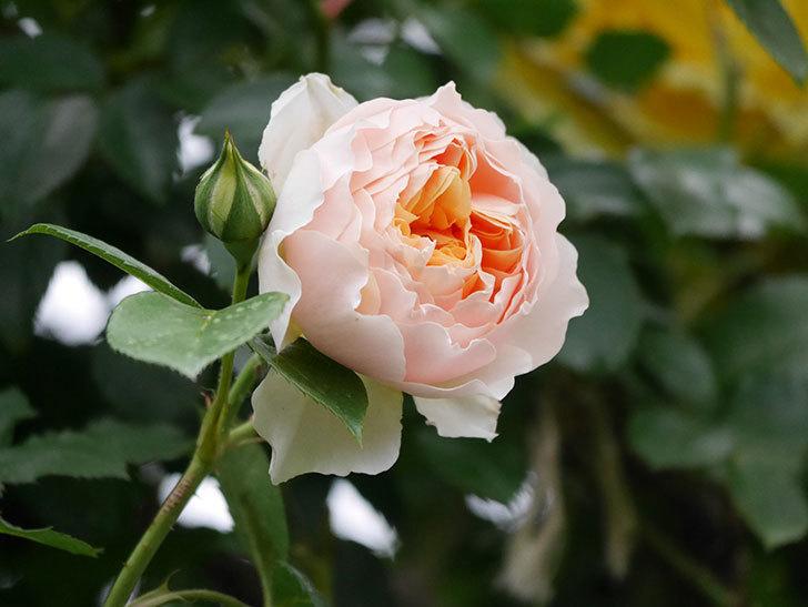 ジンジャー・シラバブ(ツルバラ)の花が咲いた。2020年-23.jpg