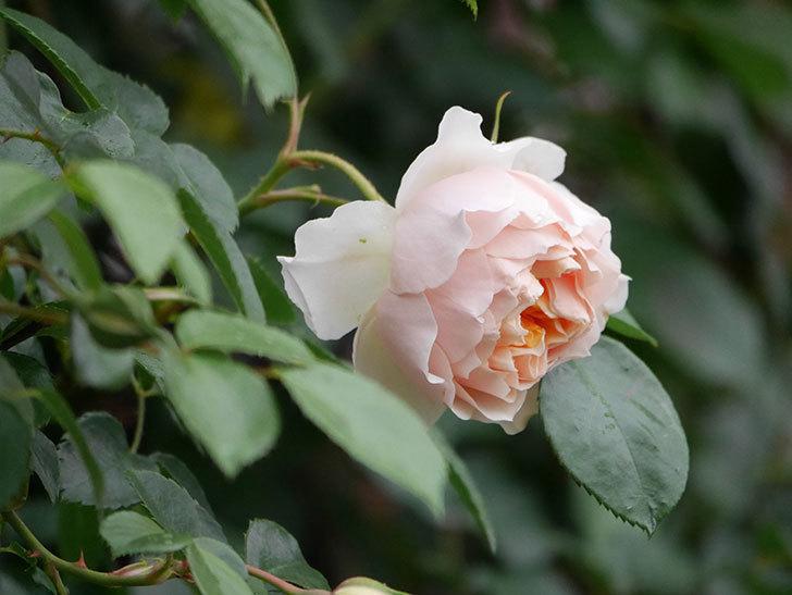 ジンジャー・シラバブ(ツルバラ)の花が咲いた。2020年-24.jpg