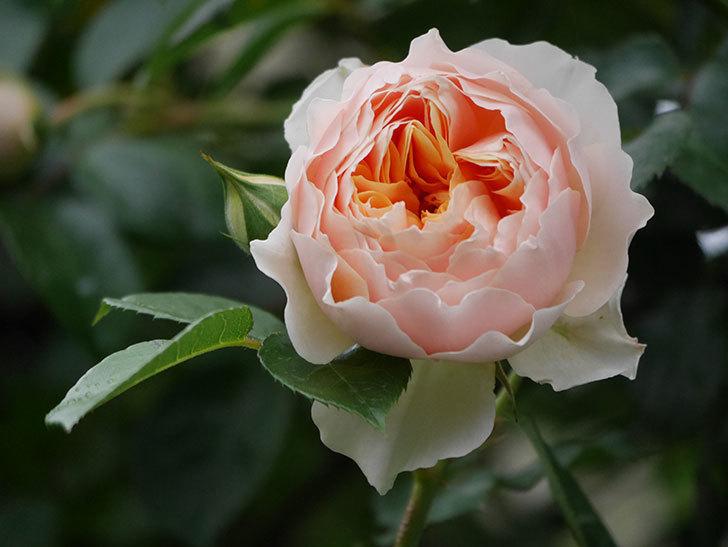 ジンジャー・シラバブ(ツルバラ)の花が咲いた。2020年-25.jpg