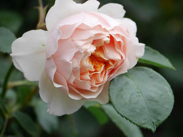 ジンジャー・シラバブ(ツルバラ)の花が咲いた。2020年-26.jpg