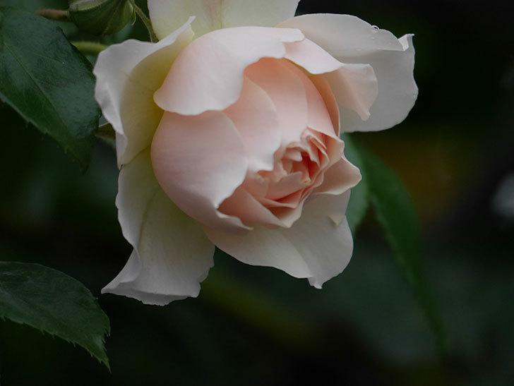 ジンジャー・シラバブ(ツルバラ)の花が咲いた。2020年-27.jpg
