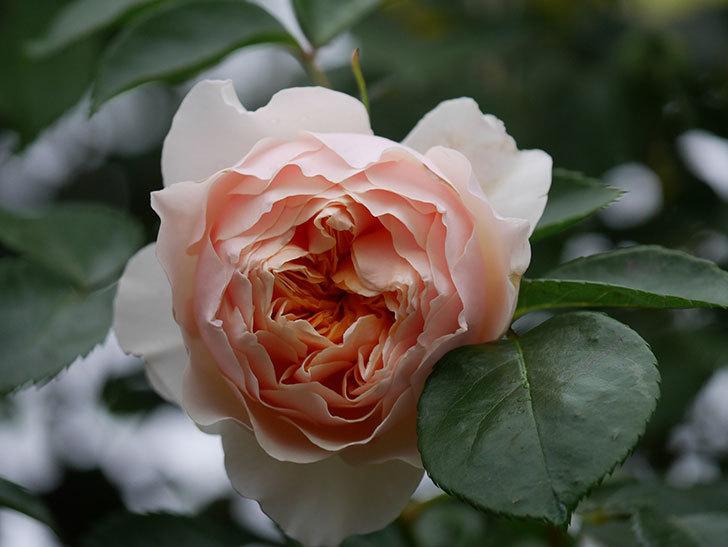 ジンジャー・シラバブ(ツルバラ)の花が咲いた。2020年-28.jpg