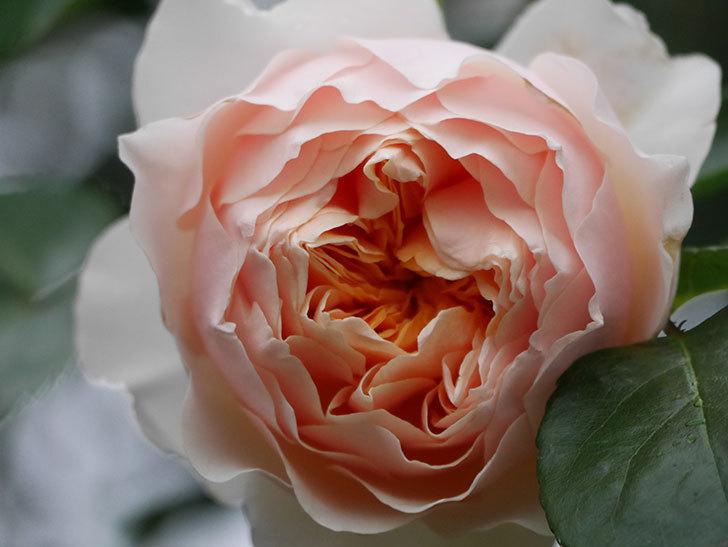 ジンジャー・シラバブ(ツルバラ)の花が咲いた。2020年-29.jpg