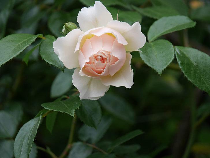 ジンジャー・シラバブ(ツルバラ)の花が咲いた。2020年-30.jpg