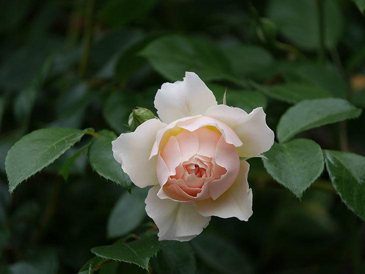 ジンジャー・シラバブ(ツルバラ)の花が咲いた。2020年-31.jpg