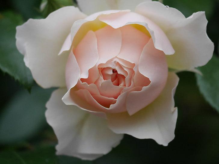 ジンジャー・シラバブ(ツルバラ)の花が咲いた。2020年-32.jpg