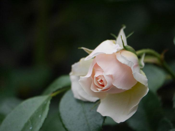 ジンジャー・シラバブ(ツルバラ)の花が咲いた。2020年-33.jpg