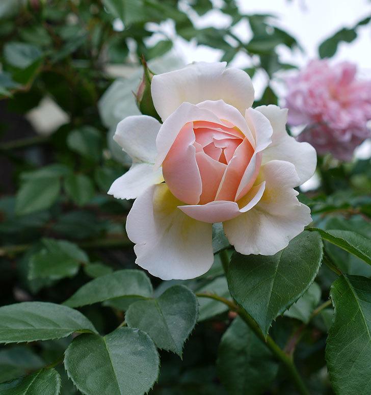 ジンジャー・シラバブ(ツルバラ)の花が咲きだした。2017年-1.jpg