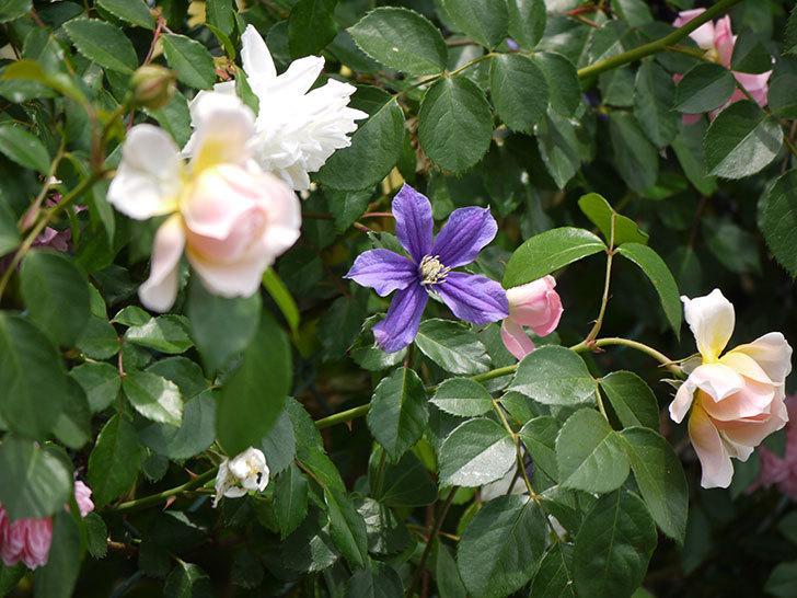 ジンジャー・シラバブ(ツルバラ)の花が咲きだした。2017年-11.jpg