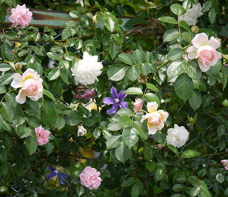 ジンジャー・シラバブ(ツルバラ)の花が咲きだした。2017年-12.jpg