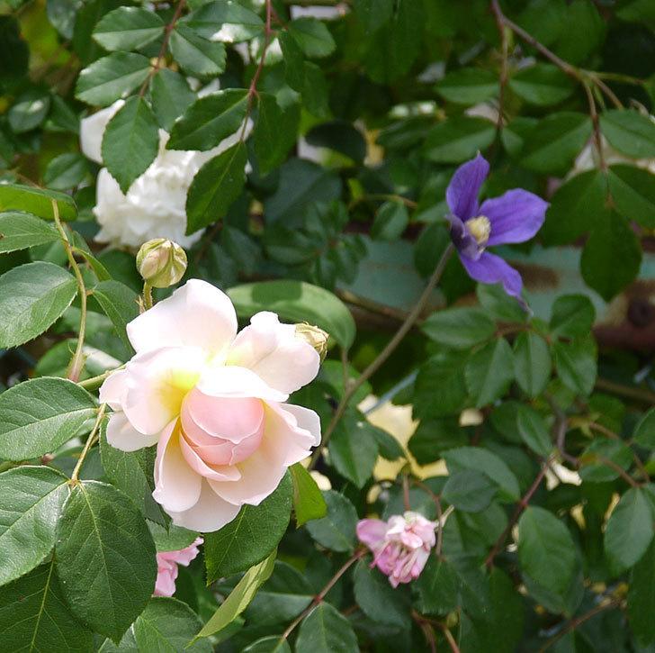 ジンジャー・シラバブ(ツルバラ)の花が咲きだした。2017年-13.jpg