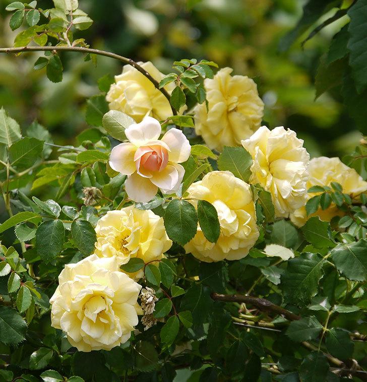 ジンジャー・シラバブ(ツルバラ)の花が咲きだした。2017年-14.jpg