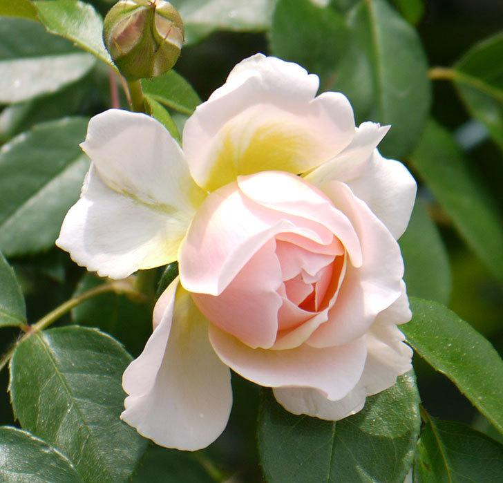 ジンジャー・シラバブ(ツルバラ)の花が咲きだした。2017年-16.jpg