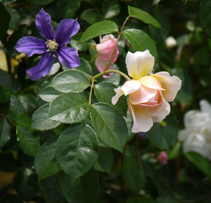 ジンジャー・シラバブ(ツルバラ)の花が咲きだした。2017年-17.jpg