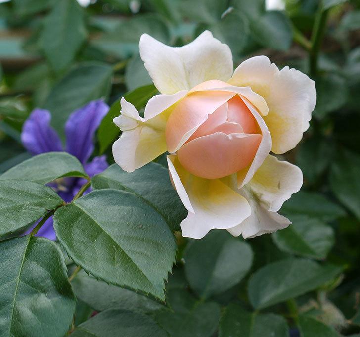 ジンジャー・シラバブ(ツルバラ)の花が咲きだした。2017年-2.jpg