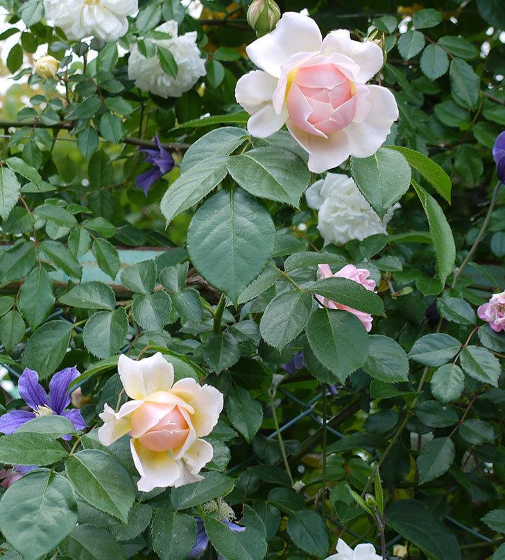 ジンジャー・シラバブ(ツルバラ)の花が咲きだした。2017年-5.jpg
