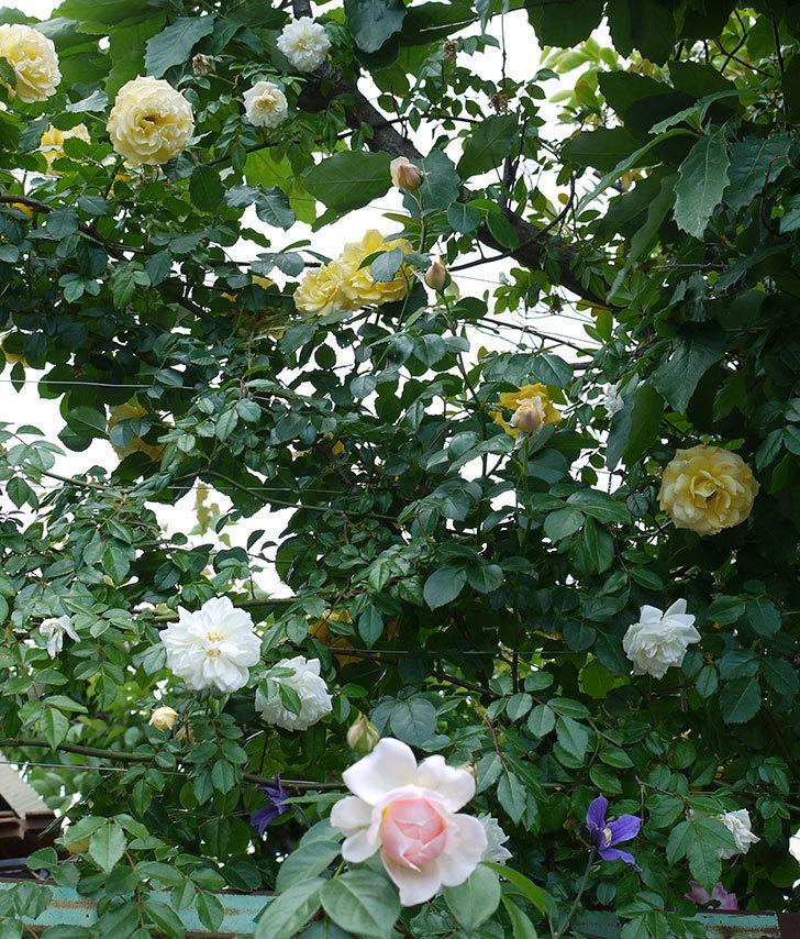 ジンジャー・シラバブ(ツルバラ)の花が咲きだした。2017年-6.jpg
