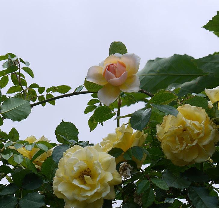 ジンジャー・シラバブ(ツルバラ)の花が咲きだした。2017年-7.jpg