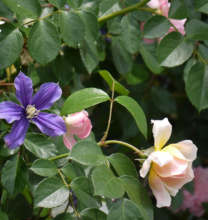 ジンジャー・シラバブ(ツルバラ)の花が咲きだした。2017年-9.jpg