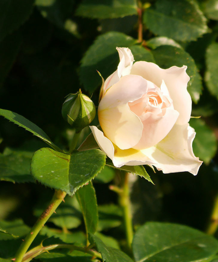 ジンジャー・シラバブ(ツルバラ)の花が咲きだした。2020年-1.jpg