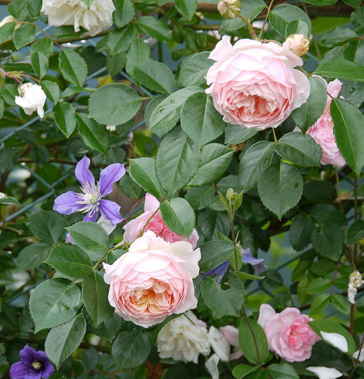 ジンジャー・シラバブ(ツルバラ)の花が増えてきた。2017年-1.jpg