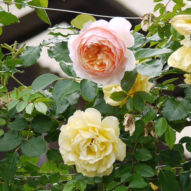 ジンジャー・シラバブ(ツルバラ)の花が増えてきた。2017年-10.jpg