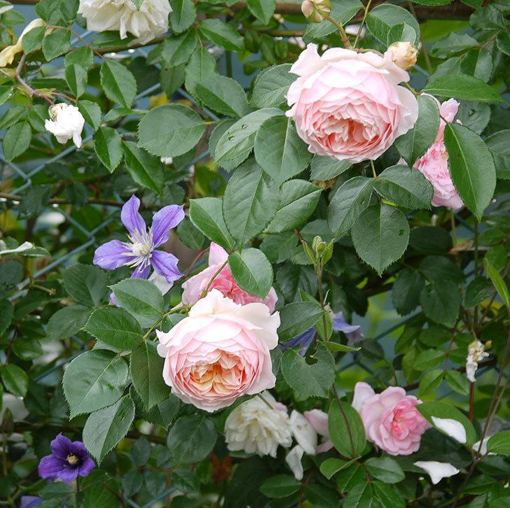 ジンジャー・シラバブ(ツルバラ)の花が増えてきた。2017年-11.jpg