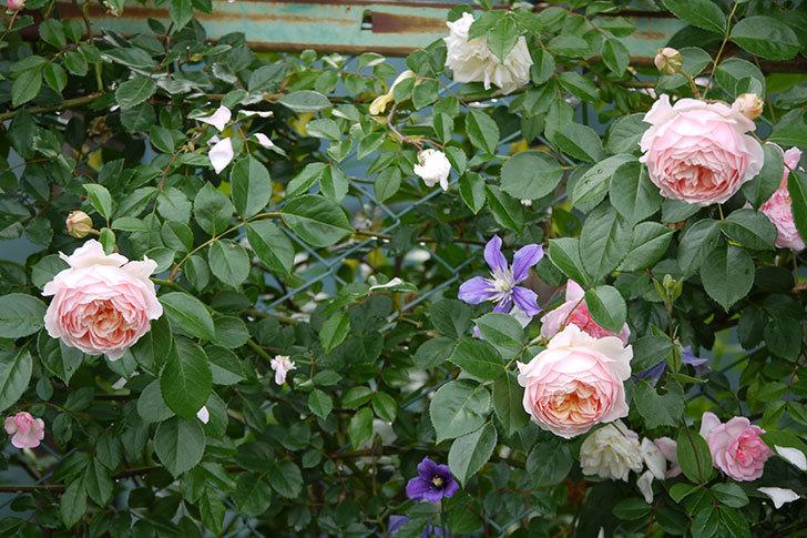 ジンジャー・シラバブ(ツルバラ)の花が増えてきた。2017年-12.jpg