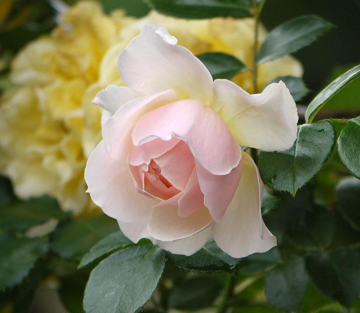 ジンジャー・シラバブ(ツルバラ)の花が増えてきた。2017年-13.jpg