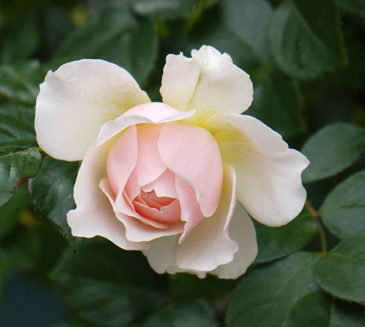 ジンジャー・シラバブ(ツルバラ)の花が増えてきた。2017年-14.jpg