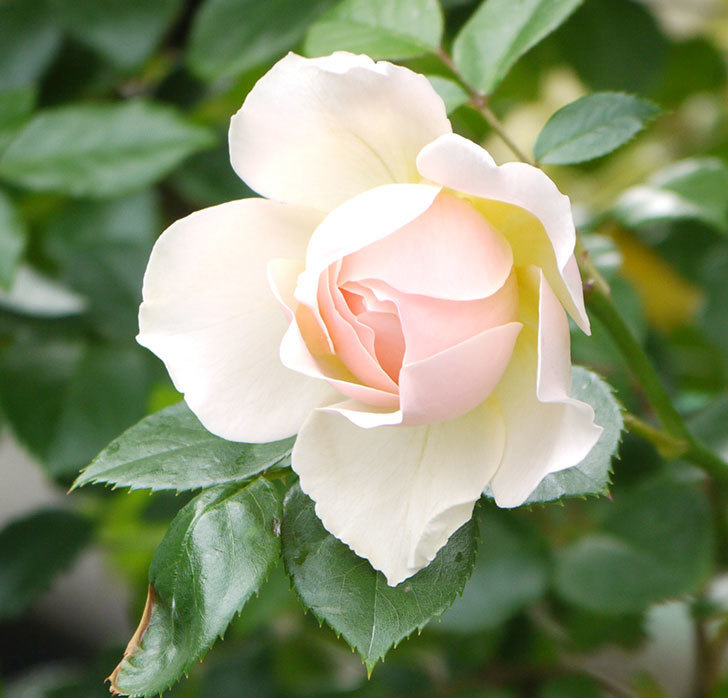 ジンジャー・シラバブ(ツルバラ)の花が増えてきた。2017年-15.jpg