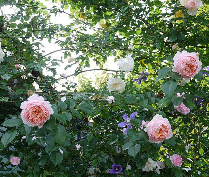 ジンジャー・シラバブ(ツルバラ)の花が増えてきた。2017年-19.jpg