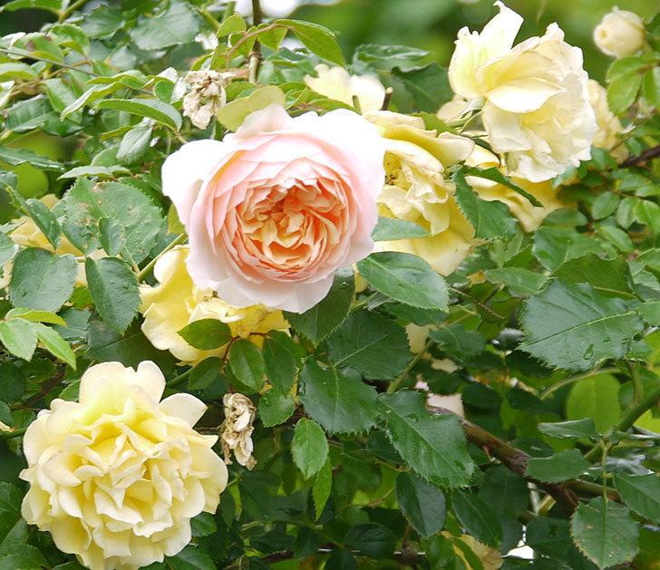ジンジャー・シラバブ(ツルバラ)の花が増えてきた。2017年-2.jpg