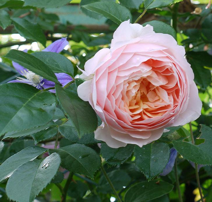 ジンジャー・シラバブ(ツルバラ)の花が増えてきた。2017年-21.jpg