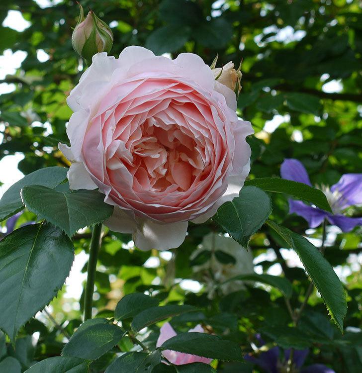 ジンジャー・シラバブ(ツルバラ)の花が増えてきた。2017年-22.jpg