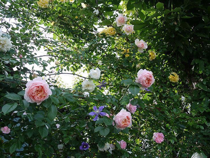 ジンジャー・シラバブ(ツルバラ)の花が増えてきた。2017年-23.jpg
