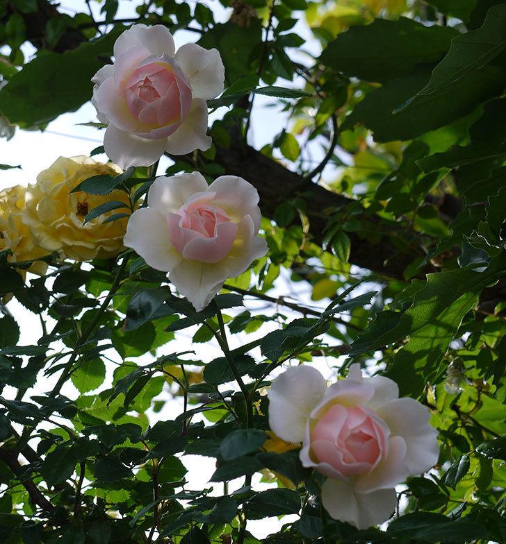 ジンジャー・シラバブ(ツルバラ)の花が増えてきた。2017年-24.jpg