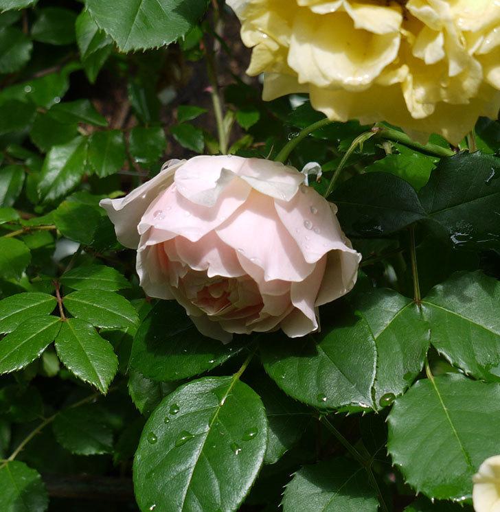 ジンジャー・シラバブ(ツルバラ)の花が増えてきた。2017年-27.jpg