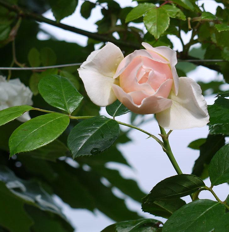 ジンジャー・シラバブ(ツルバラ)の花が増えてきた。2017年-28.jpg