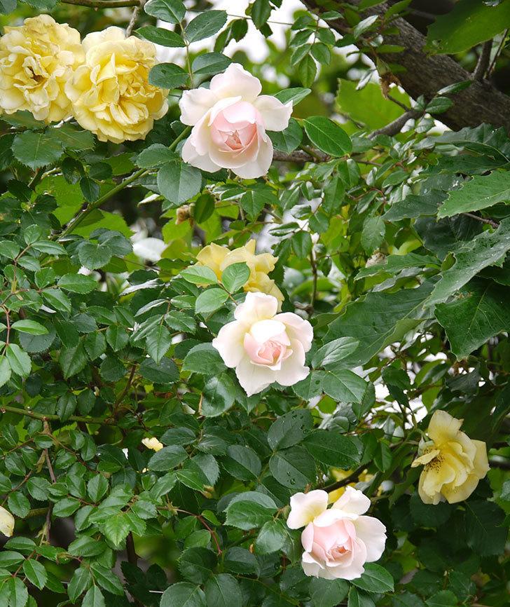 ジンジャー・シラバブ(ツルバラ)の花が増えてきた。2017年-3.jpg