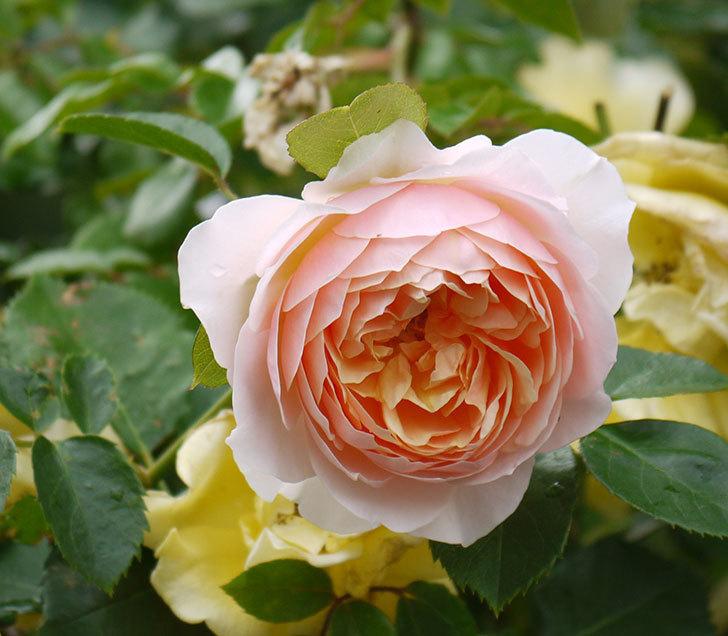 ジンジャー・シラバブ(ツルバラ)の花が増えてきた。2017年-4.jpg