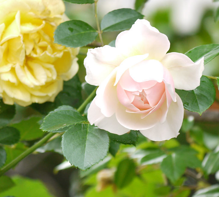 ジンジャー・シラバブ(ツルバラ)の花が増えてきた。2017年-5.jpg