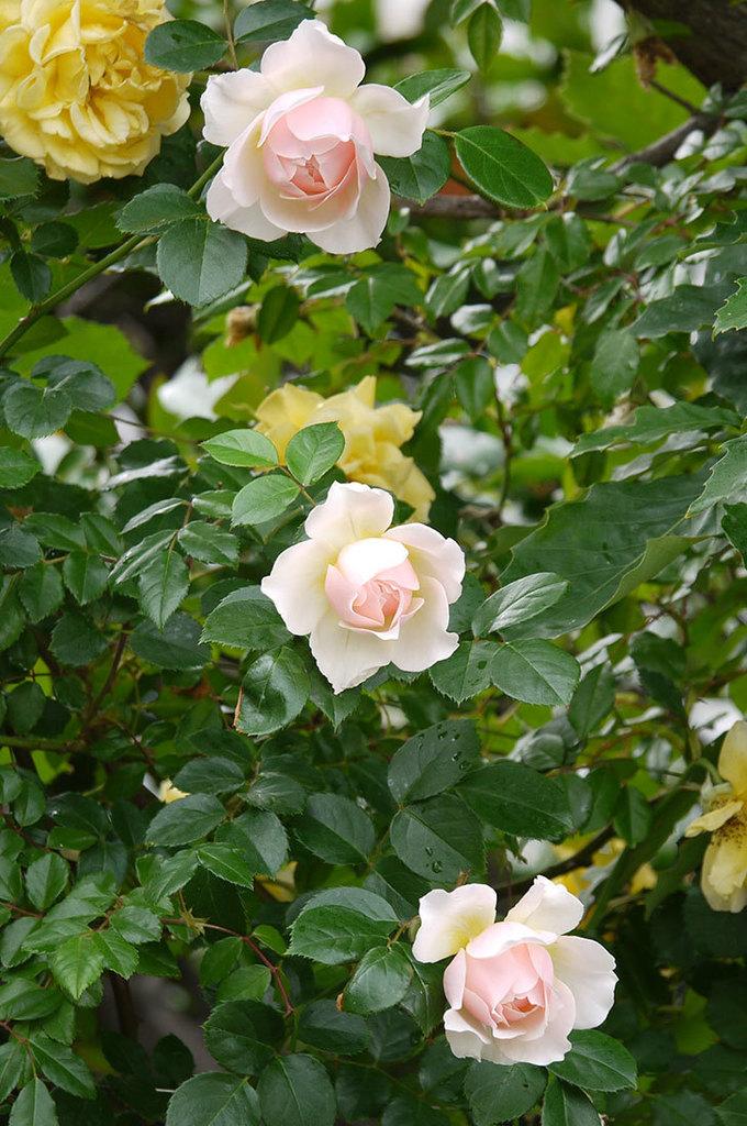 ジンジャー・シラバブ(ツルバラ)の花が増えてきた。2017年-6.jpg