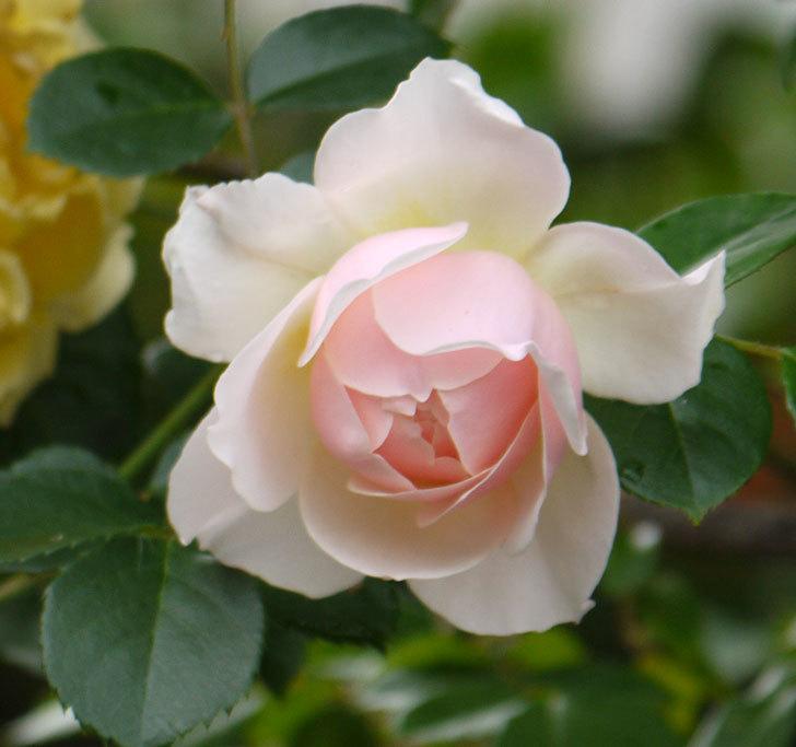 ジンジャー・シラバブ(ツルバラ)の花が増えてきた。2017年-7.jpg