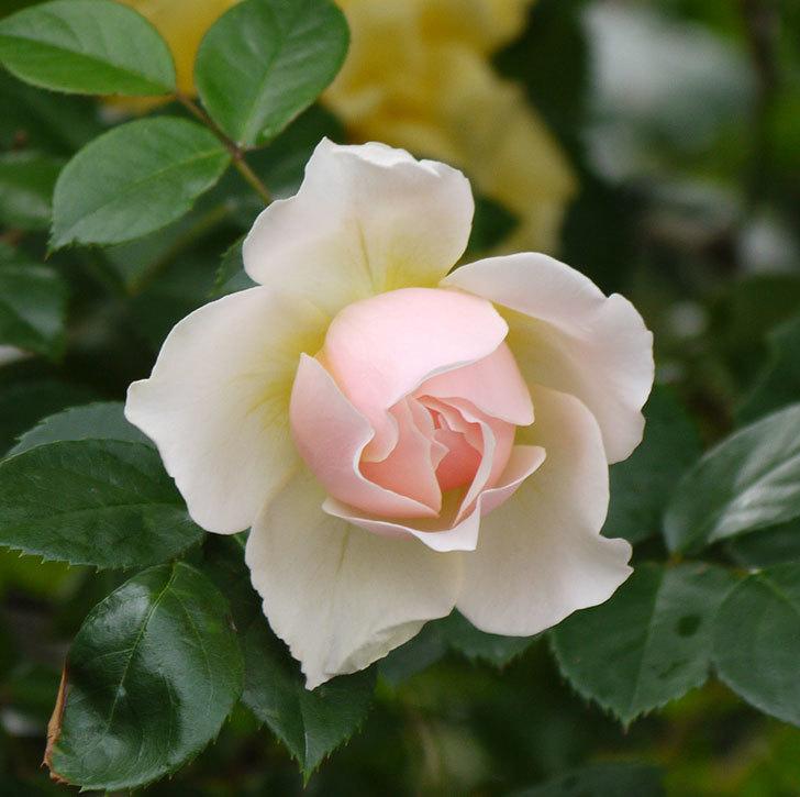 ジンジャー・シラバブ(ツルバラ)の花が増えてきた。2017年-8.jpg