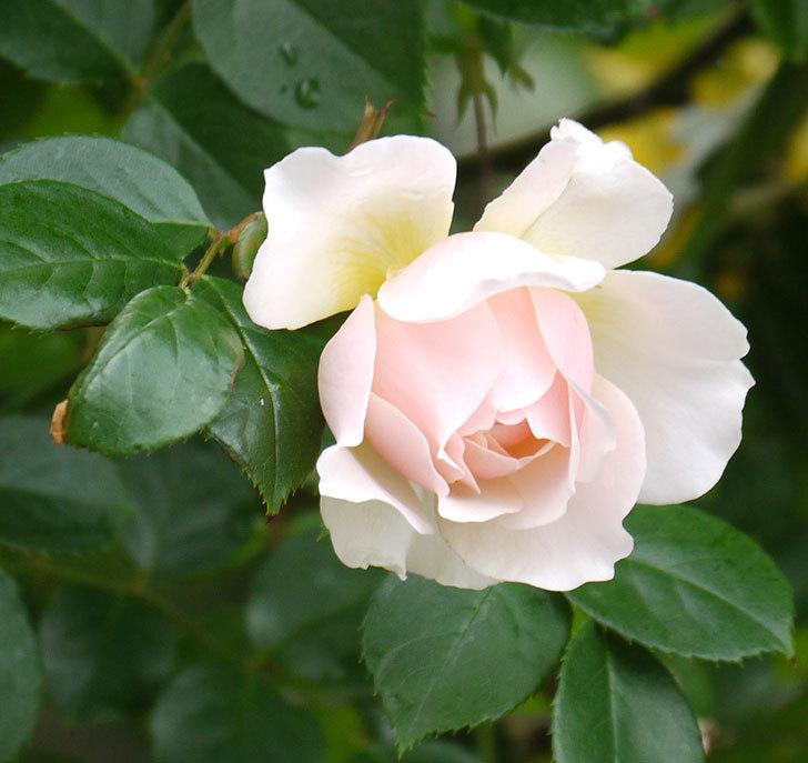 ジンジャー・シラバブ(ツルバラ)の花が増えてきた。2017年-9.jpg